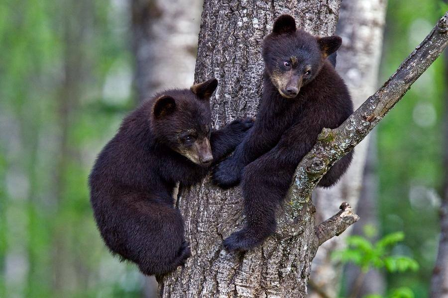 However possible is for bears to attack people, it's important to protect and preserve one of the most empowering animals for Americans.