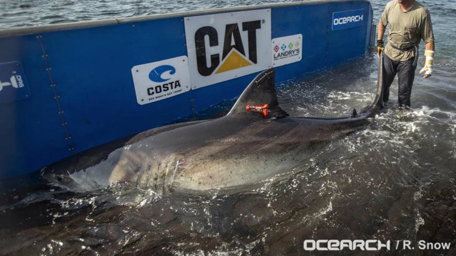 The great white shark Katharine was pinged Wednesday, March 29, near the Volusia County coast. Photo credit: OCEARCH / NBC Miami