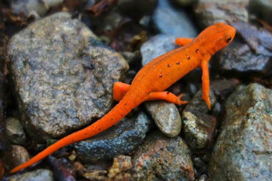 Salamanders and newts has a significant role to play in order to keep an environmental balance.