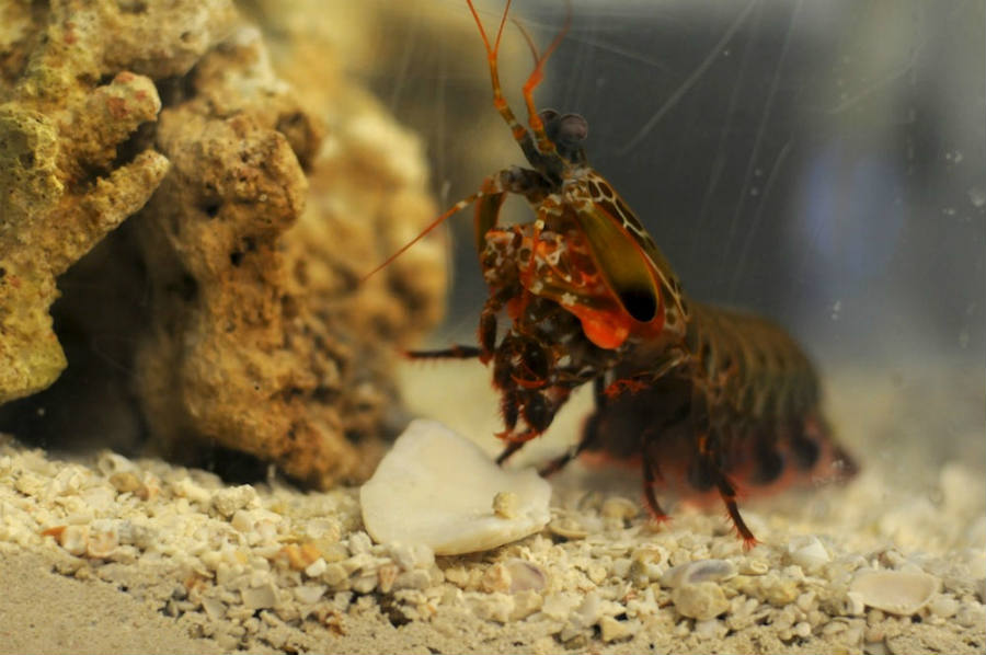 Mantis shrimp inspires next generation of ultra-strong materials thanks to useful insights on the animal's features