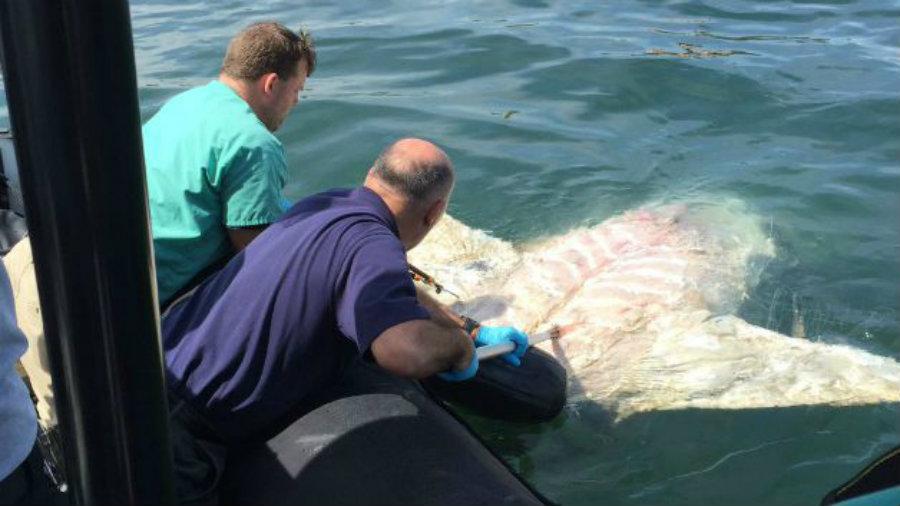 Tuesday morning, a dead basking shark was found near the Black Falcon Cruise Terminal in South Boston. Photo credit: John Greland / Boston Police Department / CBS Boston