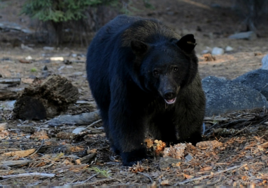 A black bear at Lake Tahoe Nevada State Park was trapped and then provided with a lethal injection after park rangers failed to scare it. Photo credit: MARK RALSTON / AFP / Getty Images
