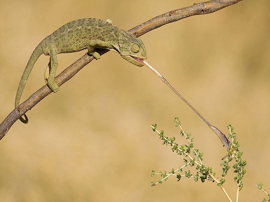Chameleon's tongue