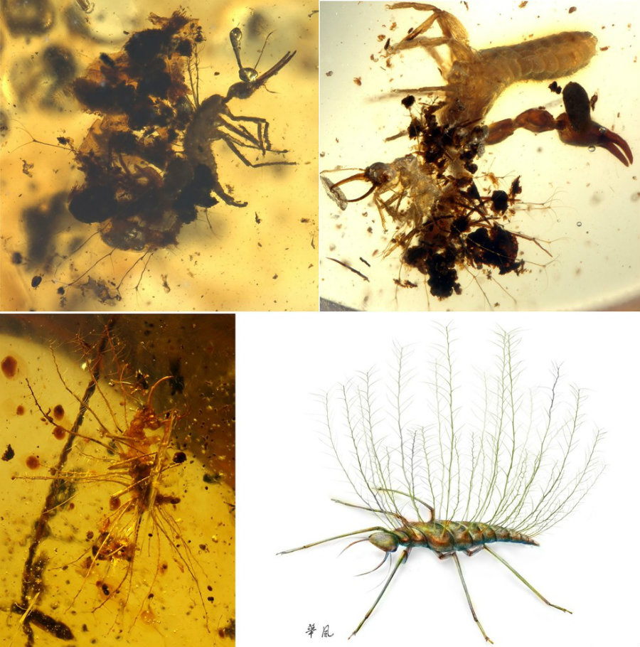 Researchers from the Chinese Academy of Sciences, have discovered a 100 million-year-old insect preserved in tree resin.  Photo credit: Green lacewing larvae from mid-Cretaceous Burmese amber. Wang et al. Sci. Adv. 2016; 2 : e1501918 / Seeker