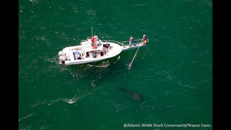 The first shark of the 2016 season was tagged by researchers this week off the coast of Cape Cod, opening the third year of a shark population study that seeks to document the itinerant predators that come to the region every summer. Photo credit: Atlantic White Shark Conservancy / Wayne Davis / Fox 25