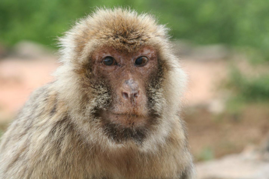 Researchers found more picky behavior among older monkeys as their 'friend' circles start getting smaller as time goes by. Image Credit: Cinema Blaze