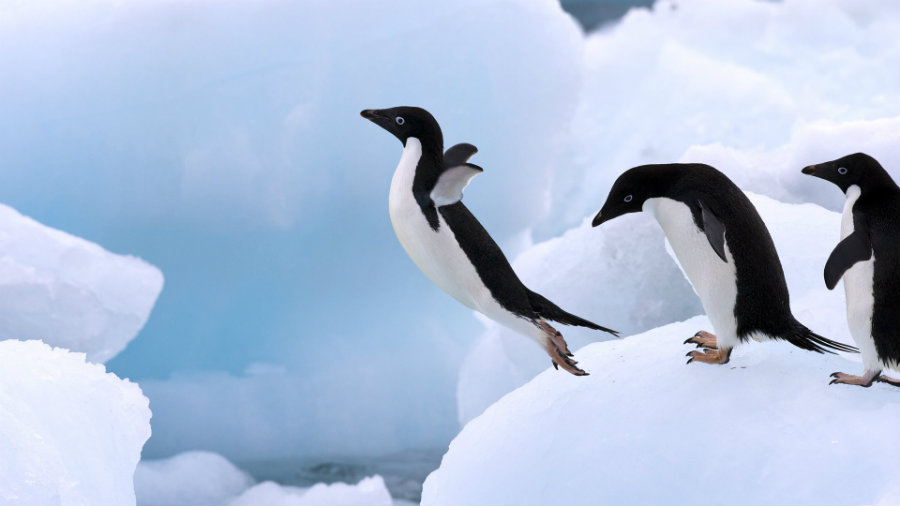 A recent study has been focusing on a particular penguin species called Adélie who have been residing among the Antarctic glaciers for an estimated 45000 years, according to National Geographic. Photo credit: Capital Wired