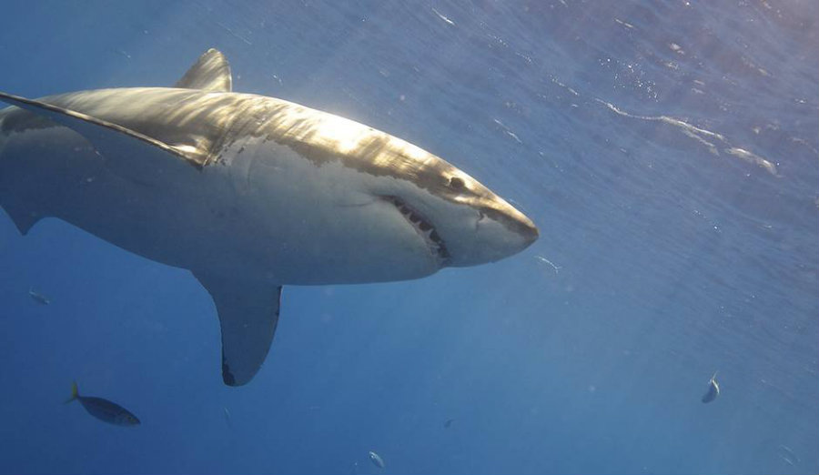 There are many theories regarding what happens on the region of the Pacific ocean known as White Shark Cafe, yet this expedition could put an end to those theories and bring in the facts. Image Credit: Inquisitr