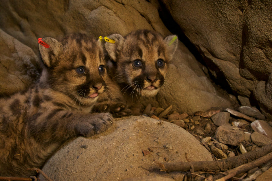 Two new litters of blue-eyed mountain lion kittens were found recently in the eastern Santa Susana Mountains. Photo credit: Scpr.org