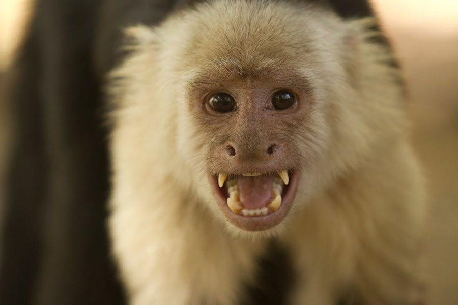 capuchins-monkeys