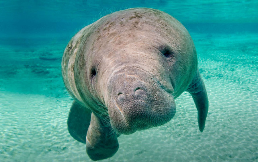 Manatees are starting to die again in Florida, and a previous algae bloom could be the culprit. Apparently, the animals are having problems to adapt to a new diet. Photo credit: Christopher J. Gervais