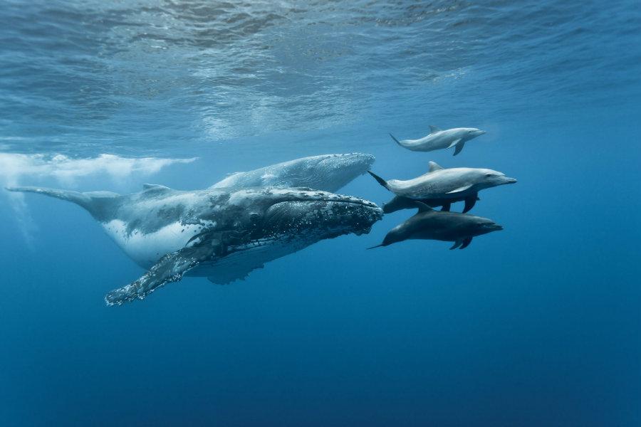 A Court of Appeals has ruled that the use of sonar by the US Navy has violated the Marine Mammal Protection Act, causing damage to various species of dolphins and whales. Photo credit: Lori Mazzuca / Science Burger