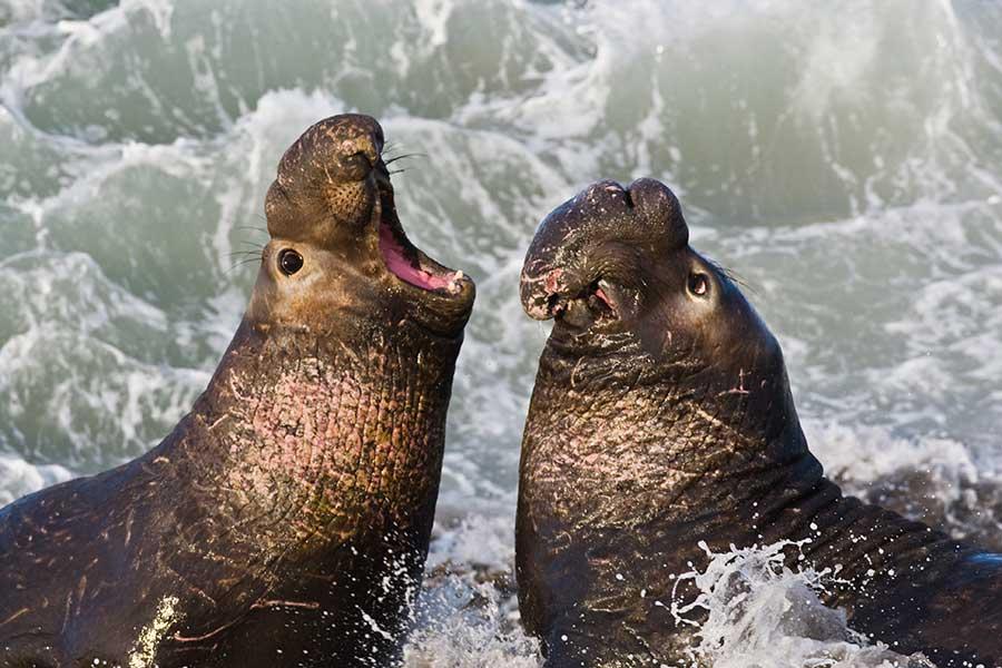 "PNorthern Elephant Seal (Mirounga angustirostris), Piedras Blancas, San Simeon, CA. Photo by Michael ""Mike"" L. Baird. (Wikipedia)"