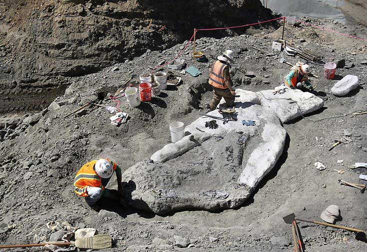 Whale-fossil-skeleton-