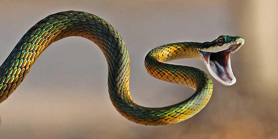 Virgin-Snake