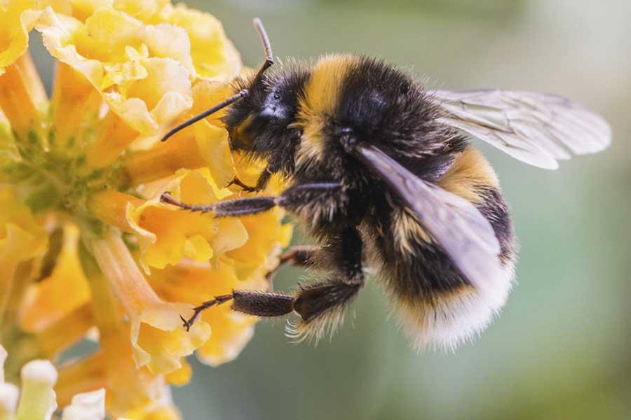 bumblebee-tongue-bee