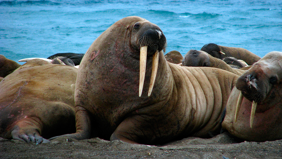 Walruses-found-dead