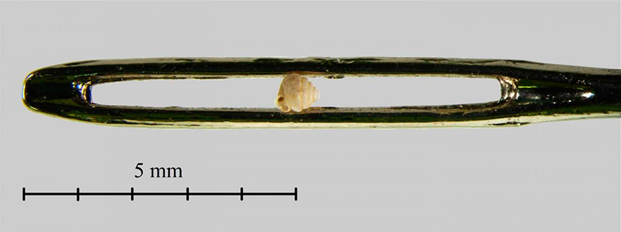 Smallest-Snails-found-in-China