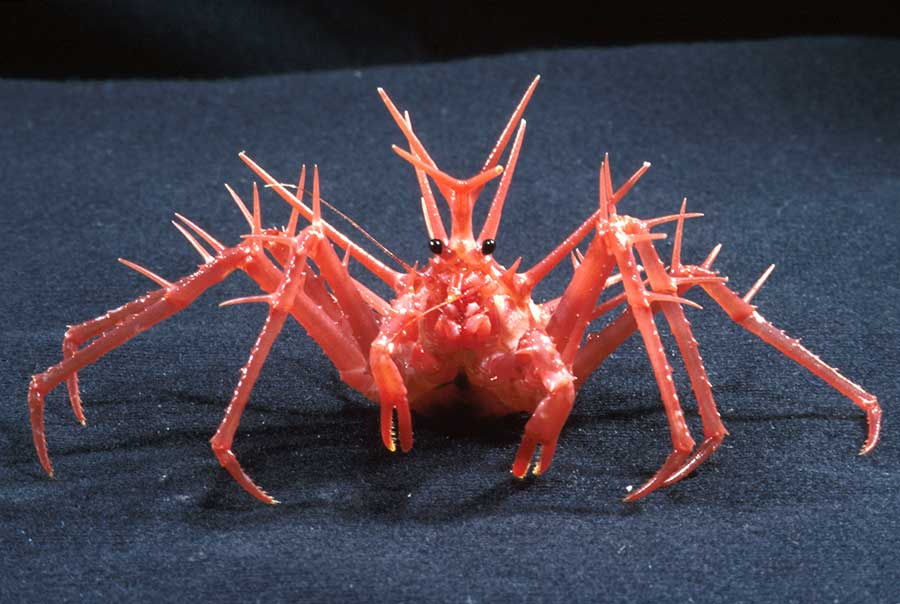 King-Crab-Antartica