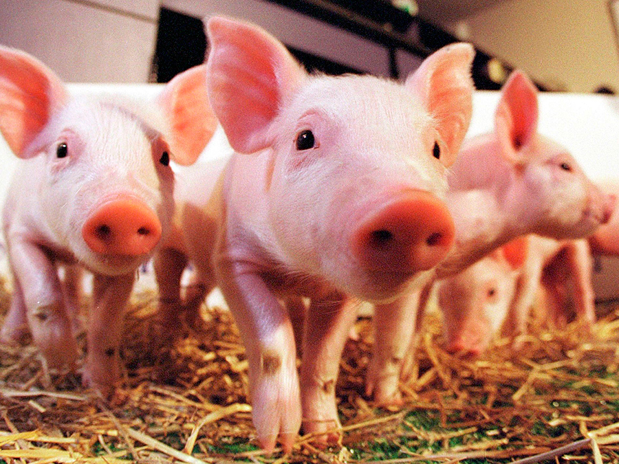 Pig-organs-may-be-useful-for-humans