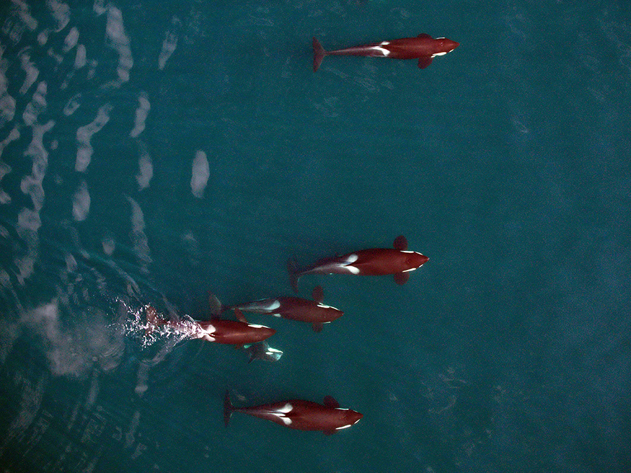 Killer-whales-by-drone