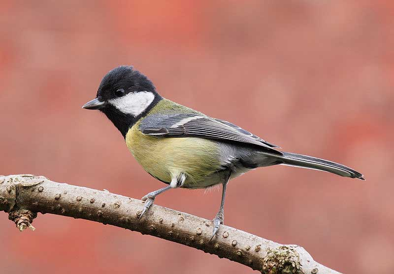 Great-tit-love-food