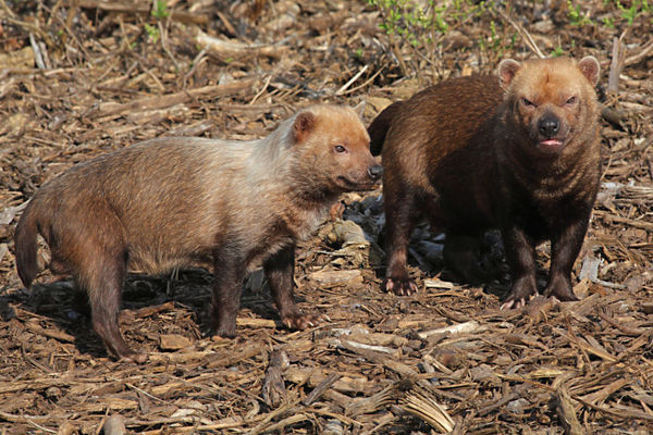 Bush dogs (Speothos venaticus), in the Zone Guyane of the new Parc Zoologique de Paris or Zoo de Vincennes, (Zoological Gardens of Paris or Vincennes Zoo), which reopened April 2014, part of the Musee National d'Histoire Naturelle, Paris, France. Credit: The Christian Science Monitor/Manuel Cohen/Newscom