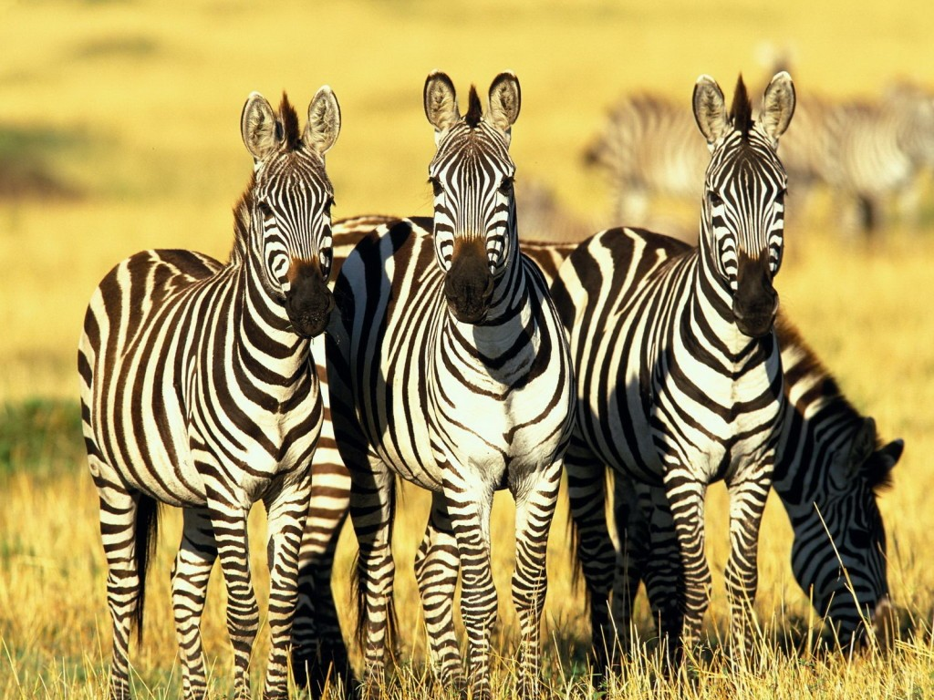 Scientists found the reason behind the beautiful pattern covering zebras. Photo: Denno/Pics Champ