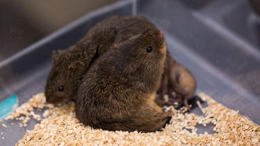 Prairie-voles