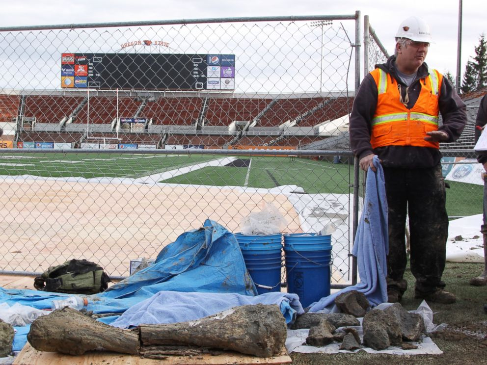 Construction workers discovered ancient bones while working on a project to expand the Oregon State University football stadium. Anthropology professor Loren Davis was called to the site to excavate the bones. Credit: ABC News/Theresa Hogue