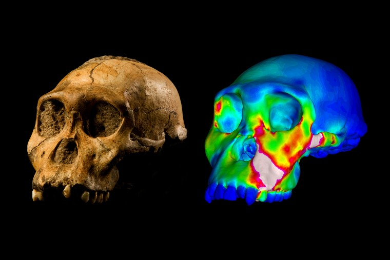 """The fossilized skull of Australopithecus sediba specimen MH1 and a finite element model of its cranium depicting strains experienced during a simulated bite on its premolars. """"Warm"""" colors indicate regions of high strain, """"cool"""" colors indicate regions of low strain. Credit: Washington University in St. Louis/MH1 by Brett Eloff, courtesy of Lee Berger and University of the Witwatersrand."""