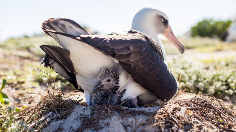 Wisdom, a Laysan albatross that's believed to be 65 years old, and her mate have welcomed a new chick at the Midway Atoll National Wildlife Refuge. Here, a week-old chick peeks out from its nest. Credit: Kaipo Kiaha/Paliku Productions