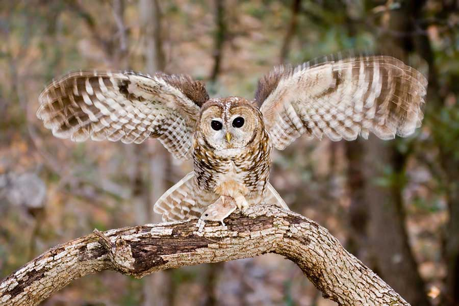Spotted-Owl-preservation