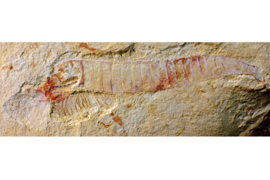 Complete specimen of Chengjiangocaris kunmingensis from the early Cambrian Xiaoshiba biota of South China. Credit: The Christian Science Monitor/Jie Yang/Yunnan University