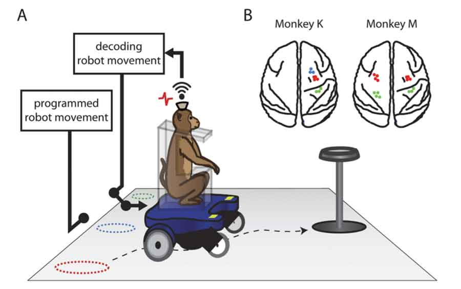 Researchers have been able to create a robotic wheelchair that can be moved by translating thoughts of monkeys that are decoded into commands. Photo credit: Cosmos Magazine