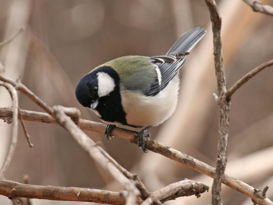 Japanese great tits communicate surprisingly like humans. Photo credit: Independent