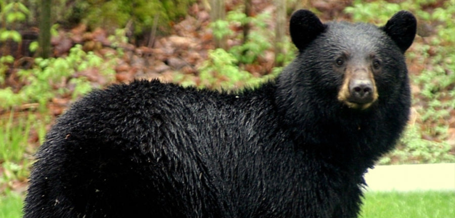 The Louisiana black bear is a symbol of our Southern wilderness. Photo credit: Regulator Watch