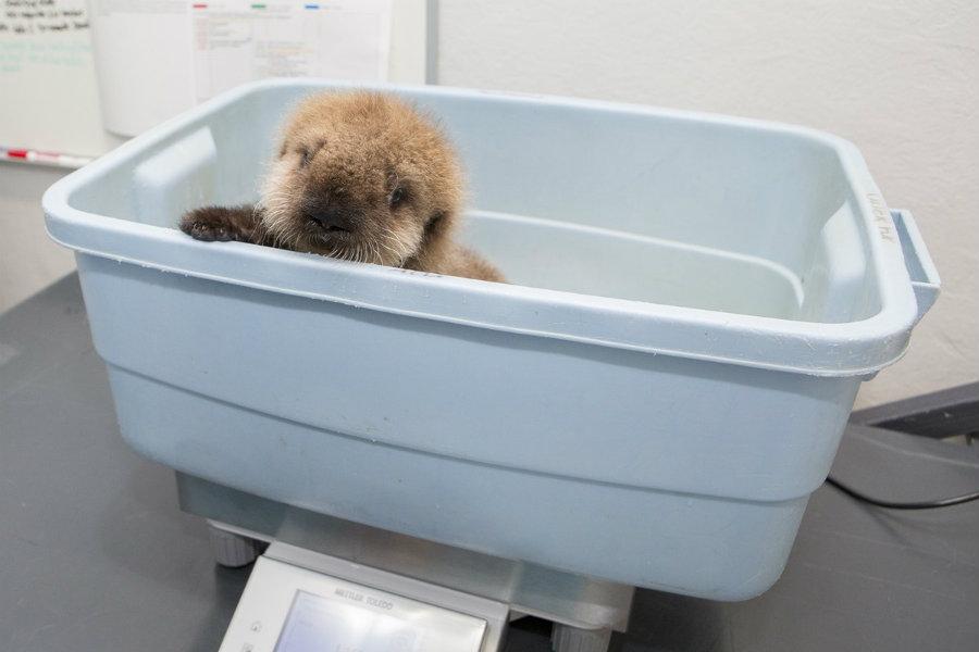 Baby otter Shedd Aquarium