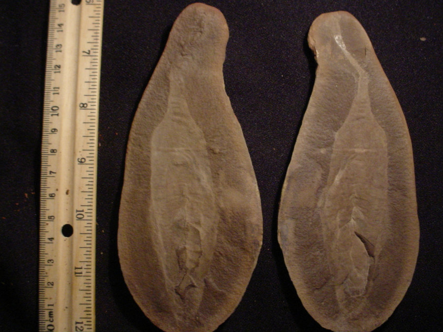 The fossil is very common in the Mazon Creek, but they have also being found in central Illinois. Photo credit: The Fossil Forum