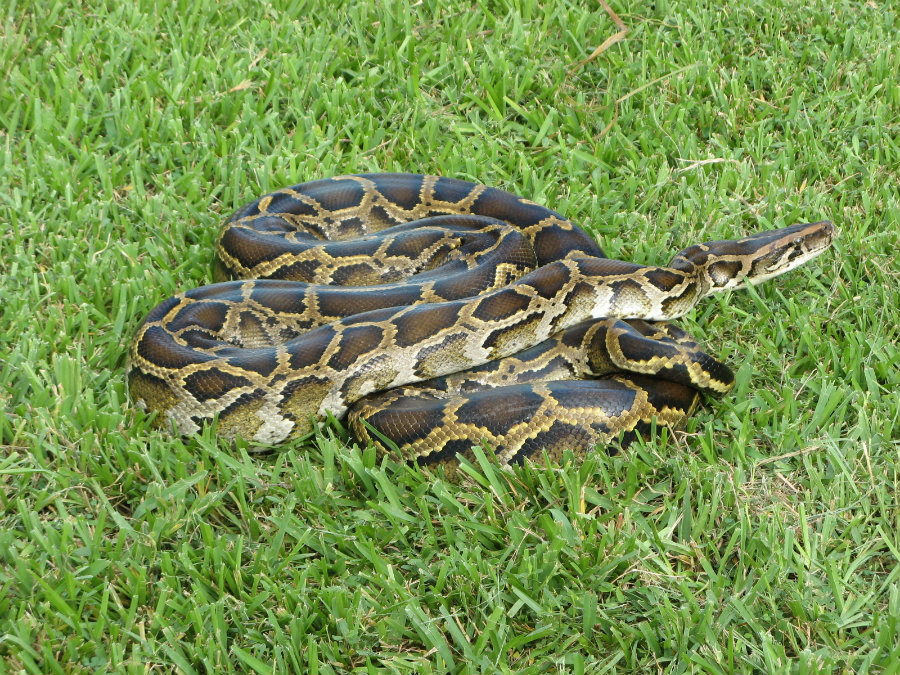 Researchers in the look for Burmese pythons in Florida's Collier County have bagged more than 2,000 pounds of snakes and have found a 16 feet and 140-pound python. Photo credit: News1130