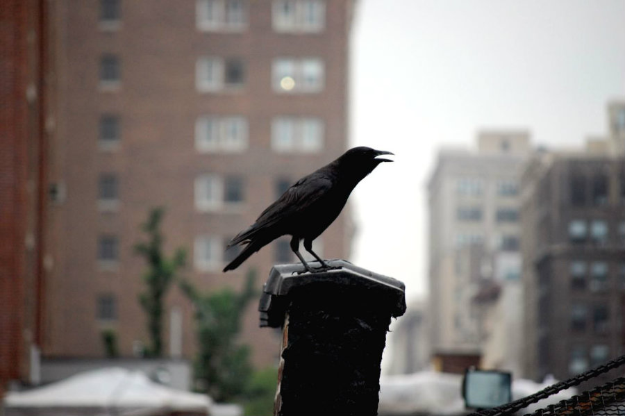 A study suggests that birds living in urban environments are smarter than birds from rural environments. Photo credit: I Spy NYC