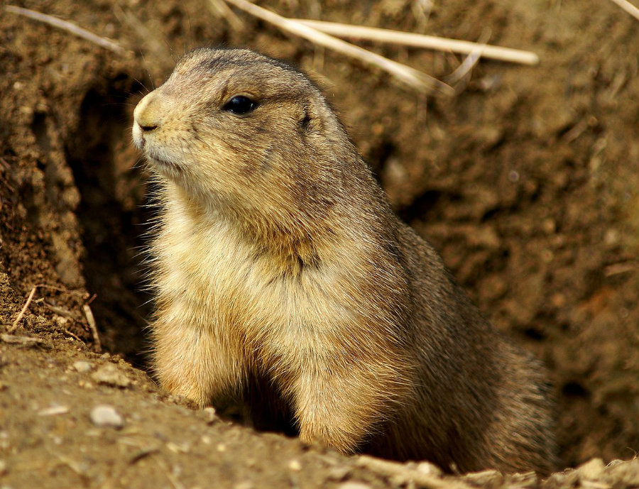 Researchers have discovered that for various reasons the prairie dog sometimes attacks squirrels to death. Photo credit: