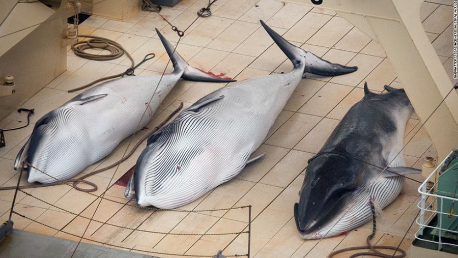 whale-hunting-japan