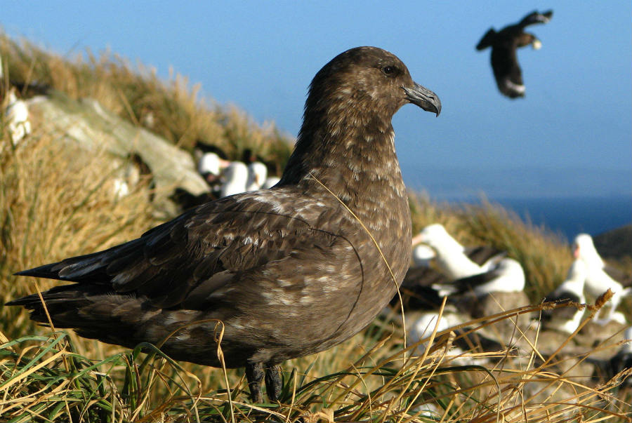 Brown Skuas birds