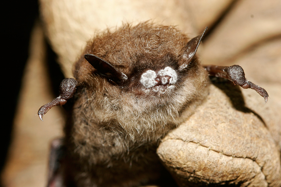White-nose-syndrome