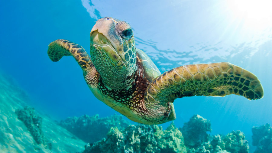 The USFWS and the NOAA changed the status of some green sea turtle species from endangered to threatened. Photo credit: Nat Geo Kids