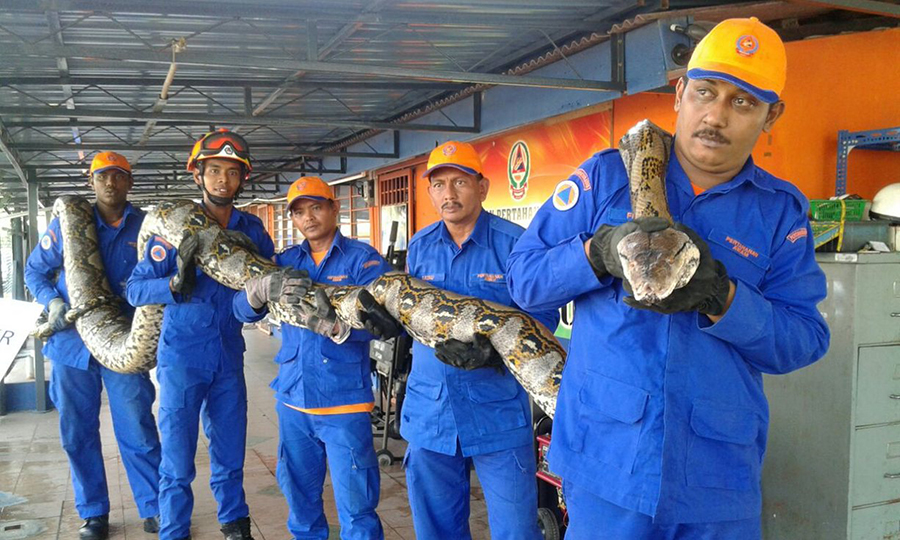 reticulated-python-malaysia