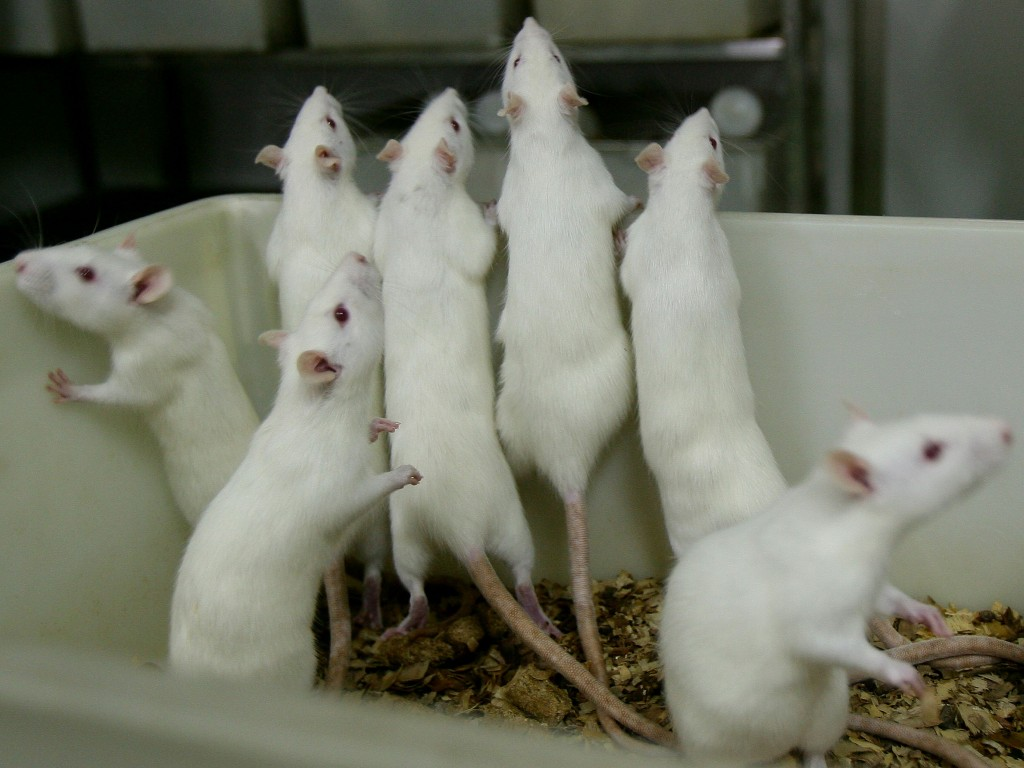 Rats And Mice In A Medical School Laboratory