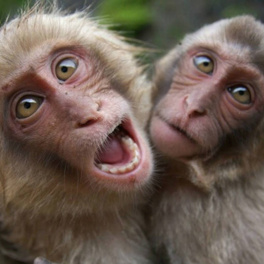 In the study recently published in the journal Nature, monkeys were shown to contract the virus after just three weeks on average, whereas the trial monkeys remained virus-free for up to 23 weeks, researchers said. Credit: The Citizen