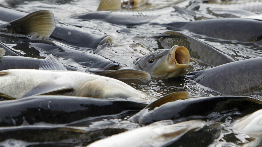 The Australian government announced over the weekend a $15 million plan to combat invasive carp by releasing a herpes virus into one of the largest river systems. Photo credit: The Wall Street Journal